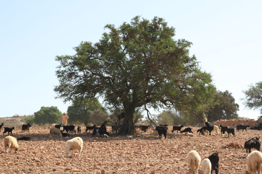 an argan tree in morocco