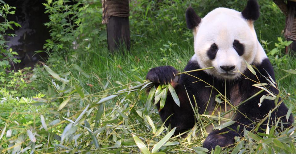 Asia-Wild-China-4-panda